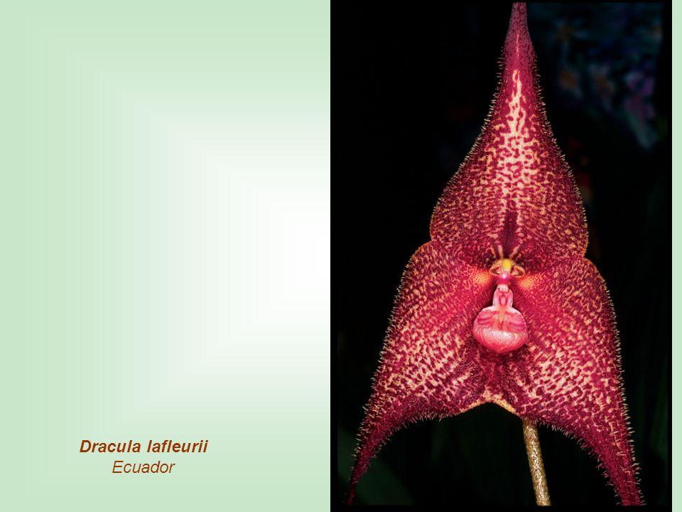 Dracula lafleurii Ecuador
