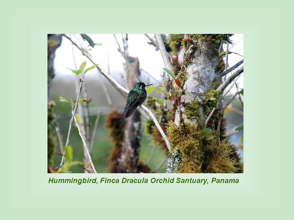 Hummingbird, Finca Dracula Orchid Santuary, Panama
