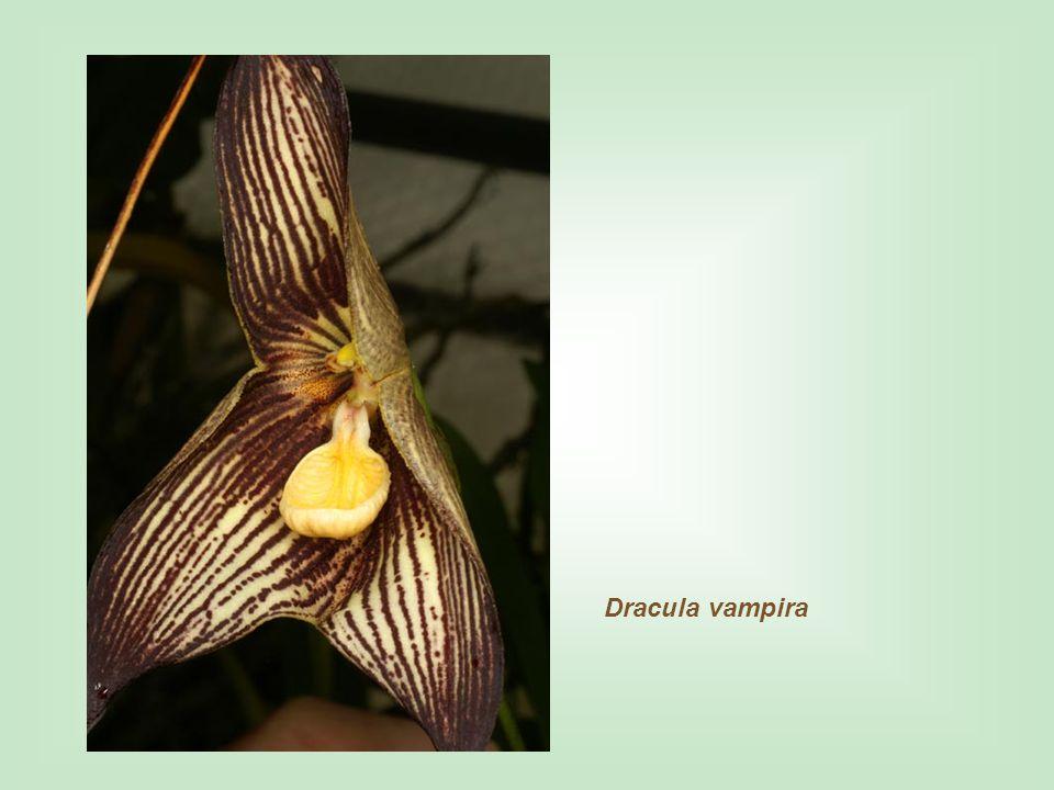 Dracula vampira