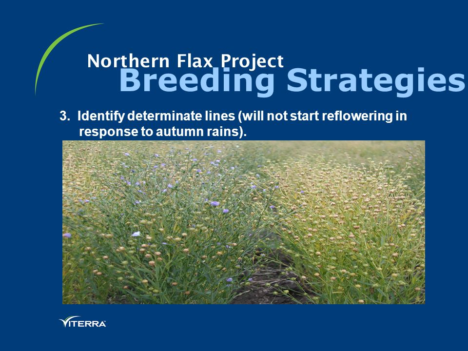 Northern Flax Project Breeding Strategies 3. Identify determinate lines (will not start reflowering in response to autumn rains).