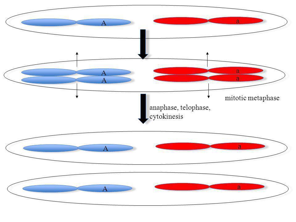 A a A a A a A a A a mitotic metaphase anaphase, telophase, cytokinesis