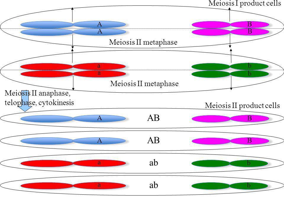 a a b b A AB B Meiosis I product cells A B A B a b a b Meiosis II product cells Meiosis II anaphase, telophase, cytokinesis Meiosis II metaphase AB ab