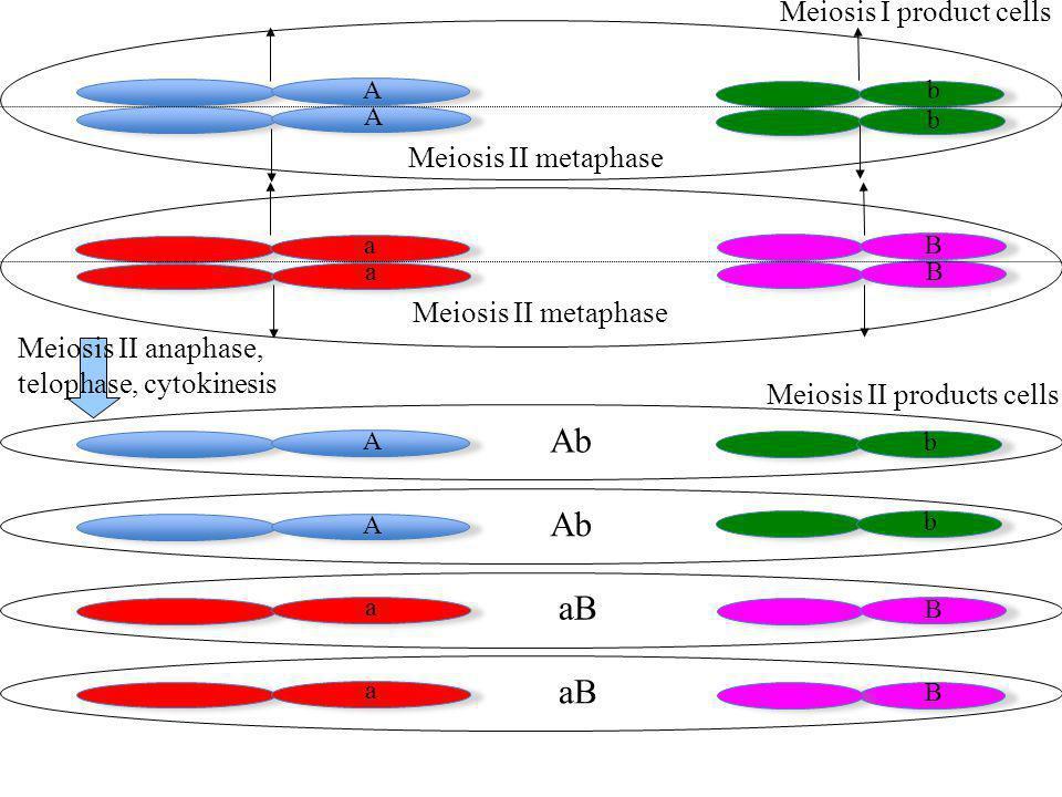 a a b b A A B B Meiosis I product cells A B A a a b Meiosis II products cells Meiosis II anaphase, telophase, cytokinesis Meiosis II metaphase b B Ab aB