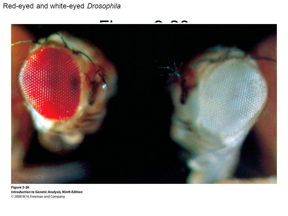 Figure 2-26 Red-eyed and white-eyed Drosophila