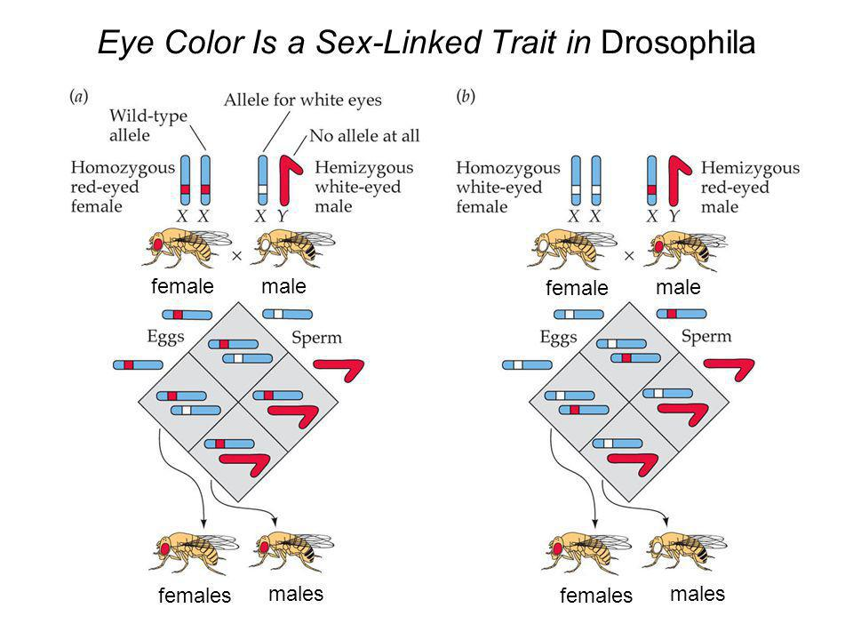 26 Eye Color Is a Sex-Linked Trait in Drosophila female male female male females males females males