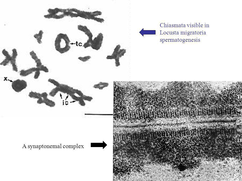 Chiasmata visible in Locusta migratoria spermatogenesis A synaptonemal complex