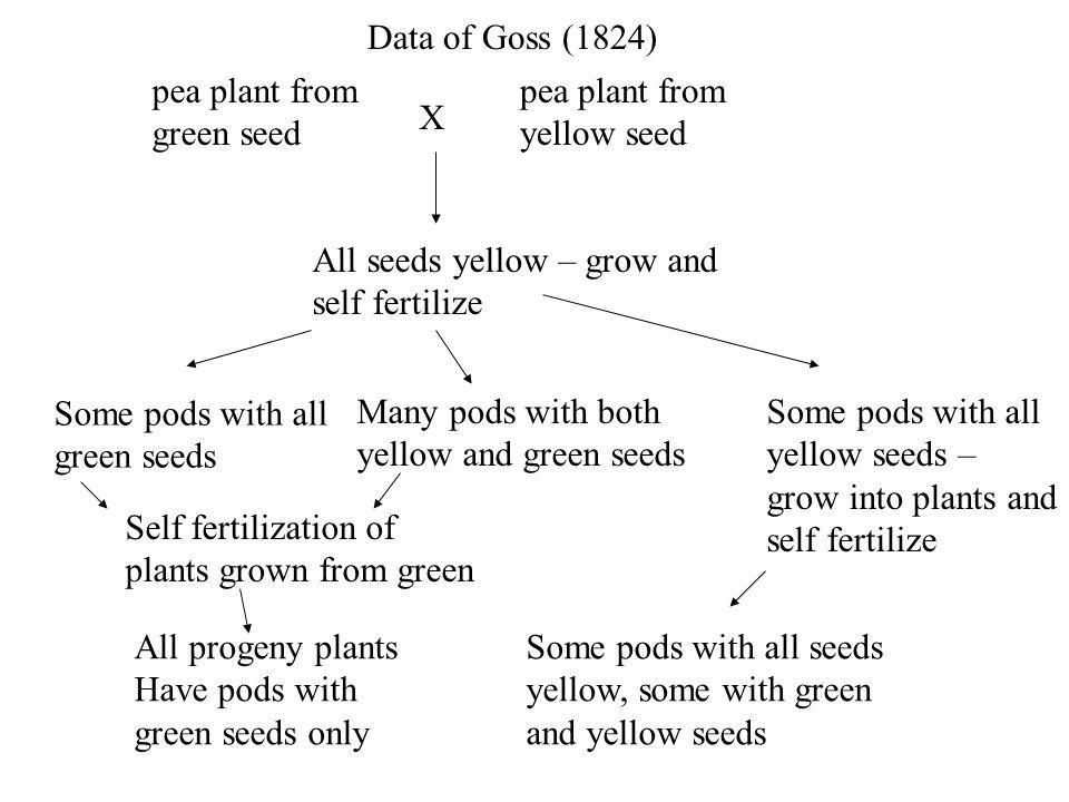 pea plant from green seed Data of Goss (1824) X pea plant from yellow seed All seeds yellow – grow and self fertilize Some pods with all yellow seeds – grow into plants and self fertilize Some pods with all seeds yellow, some with green and yellow seeds Some pods with all green seeds Many pods with both yellow and green seeds Self fertilization of plants grown from green All progeny plants Have pods with green seeds only