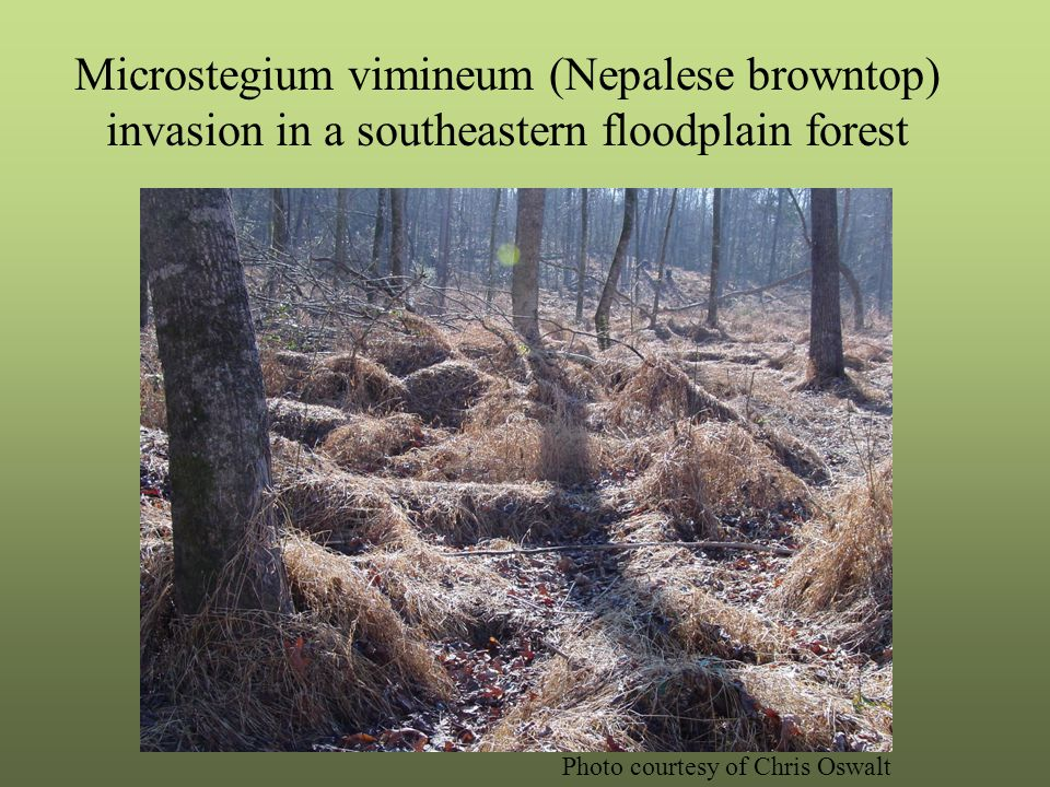 Microstegium vimineum (Nepalese browntop) invasion in a southeastern floodplain forest Photo courtesy of Chris Oswalt
