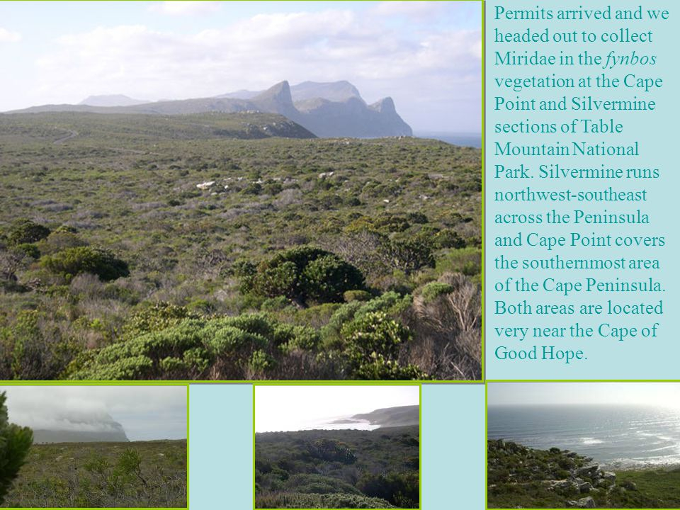 Permits arrived and we headed out to collect Miridae in the fynbos vegetation at the Cape Point and Silvermine sections of Table Mountain National Park.