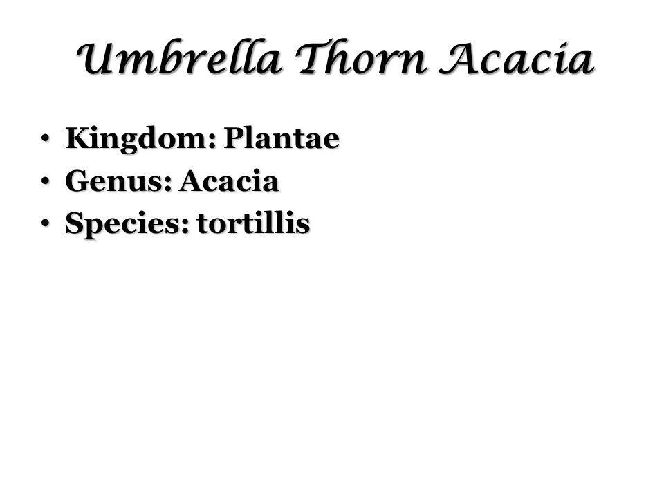 Umbrella Thorn Acacia Kingdom: Plantae Kingdom: Plantae Genus: Acacia Genus: Acacia Species: tortillis Species: tortillis