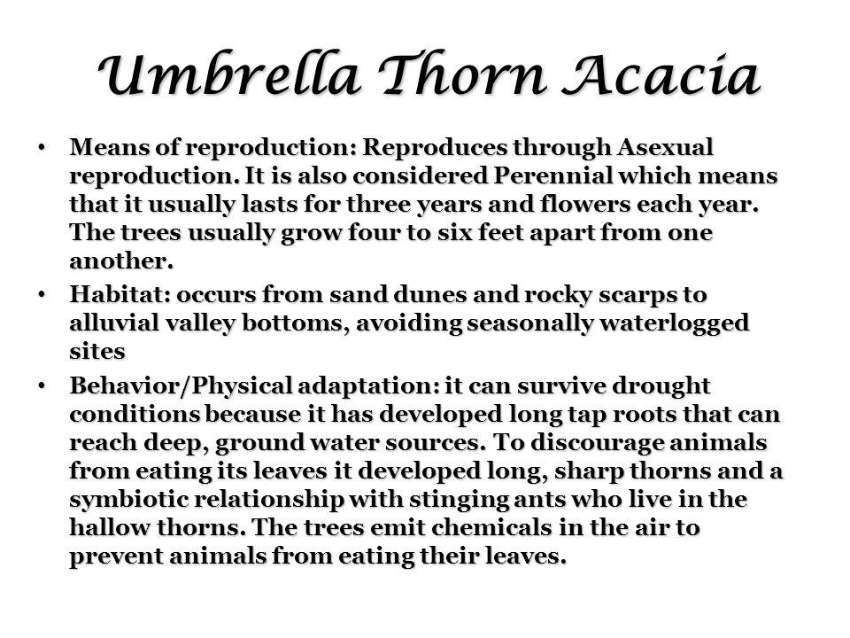 Umbrella Thorn Acacia Means of reproduction: Reproduces through Asexual reproduction.