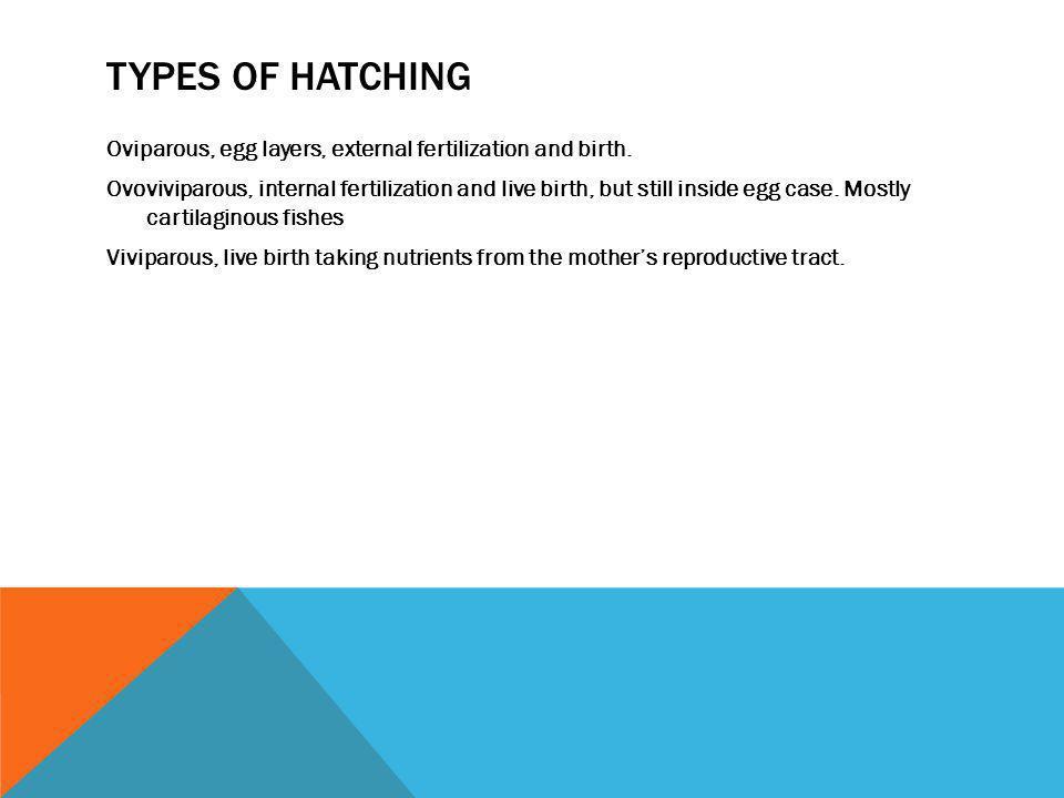TYPES OF HATCHING Oviparous, egg layers, external fertilization and birth. Ovoviviparous, internal fertilization and live birth, but still inside egg