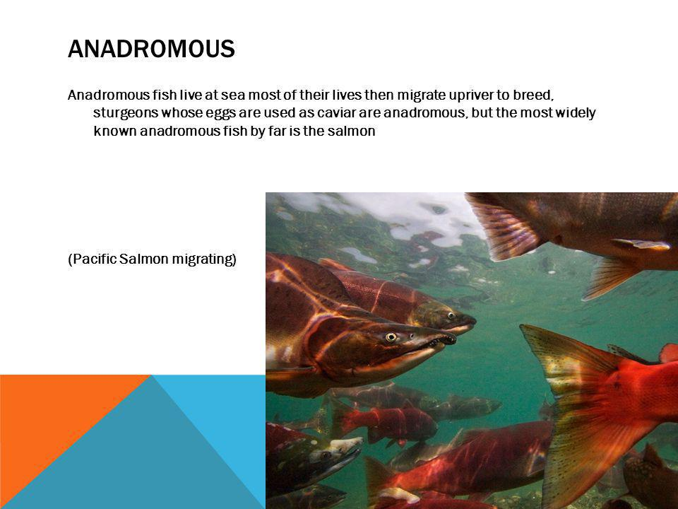 ANADROMOUS Anadromous fish live at sea most of their lives then migrate upriver to breed, sturgeons whose eggs are used as caviar are anadromous, but