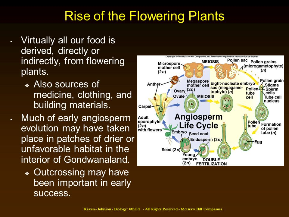 Raven - Johnson - Biology: 6th Ed. - All Rights Reserved - McGraw Hill Companies Rise of the Flowering Plants Virtually all our food is derived, direc