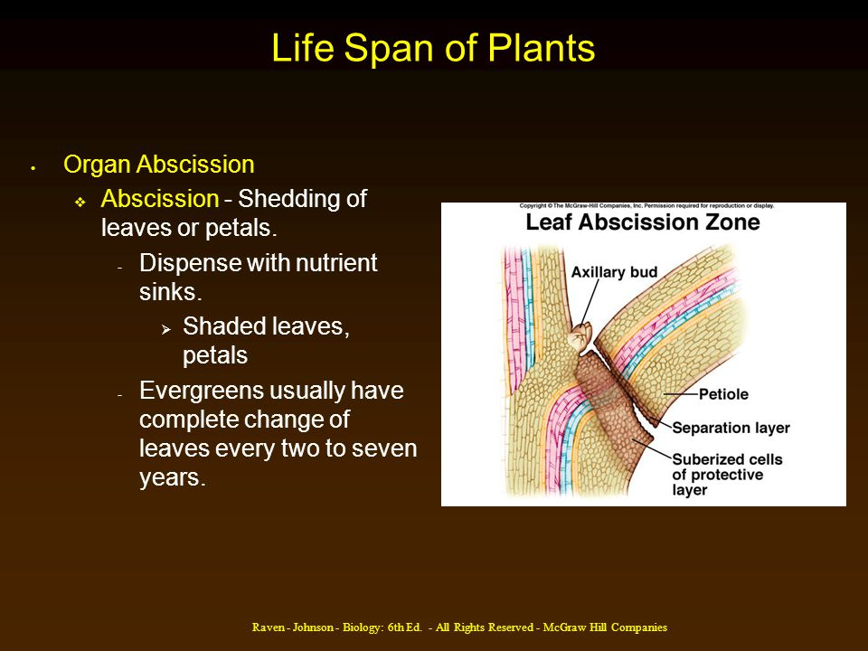 Raven - Johnson - Biology: 6th Ed. - All Rights Reserved - McGraw Hill Companies Life Span of Plants Organ Abscission Abscission - Shedding of leaves