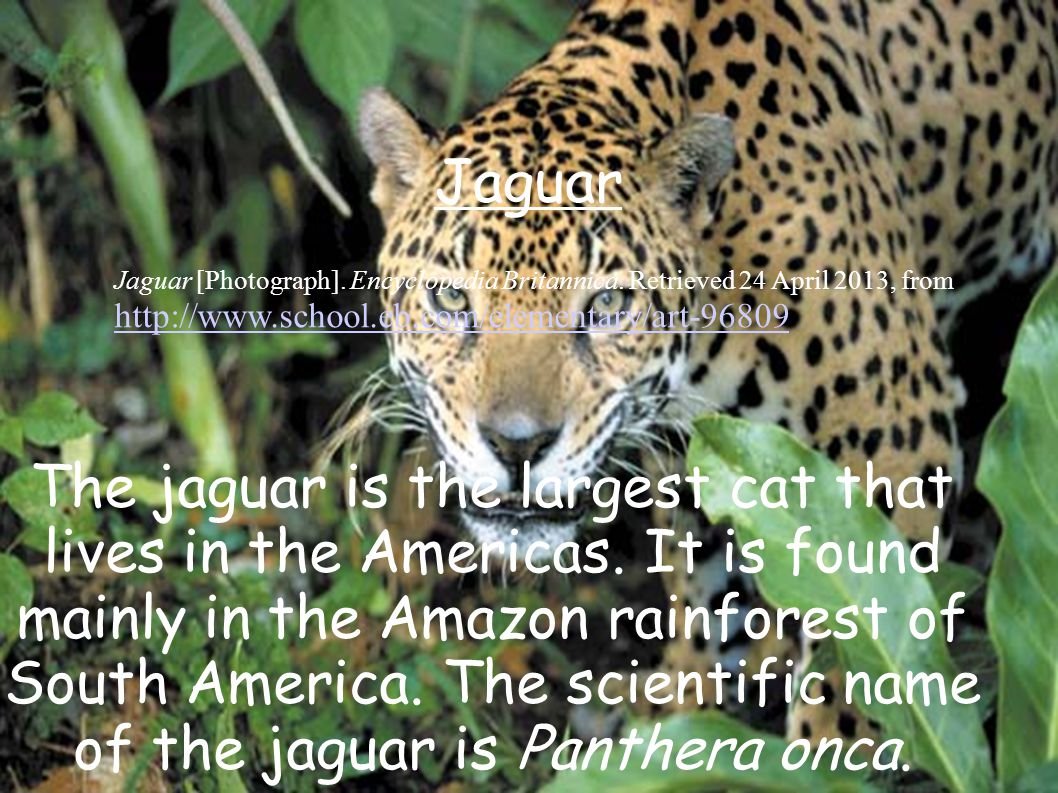 The jaguar is the largest cat that lives in the Americas.