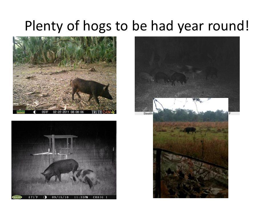 Plenty of hogs to be had year round!