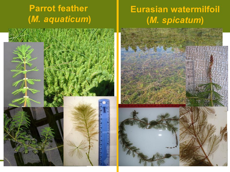 Parrotfeather Control Robust rhizomes Waxy cuticle on emergent leaves, requires wetting agent Use of contact herbicides (diquat & endothall) of limited use No single treatment effective –Imazapyr & triclopyr most promising for long-term control