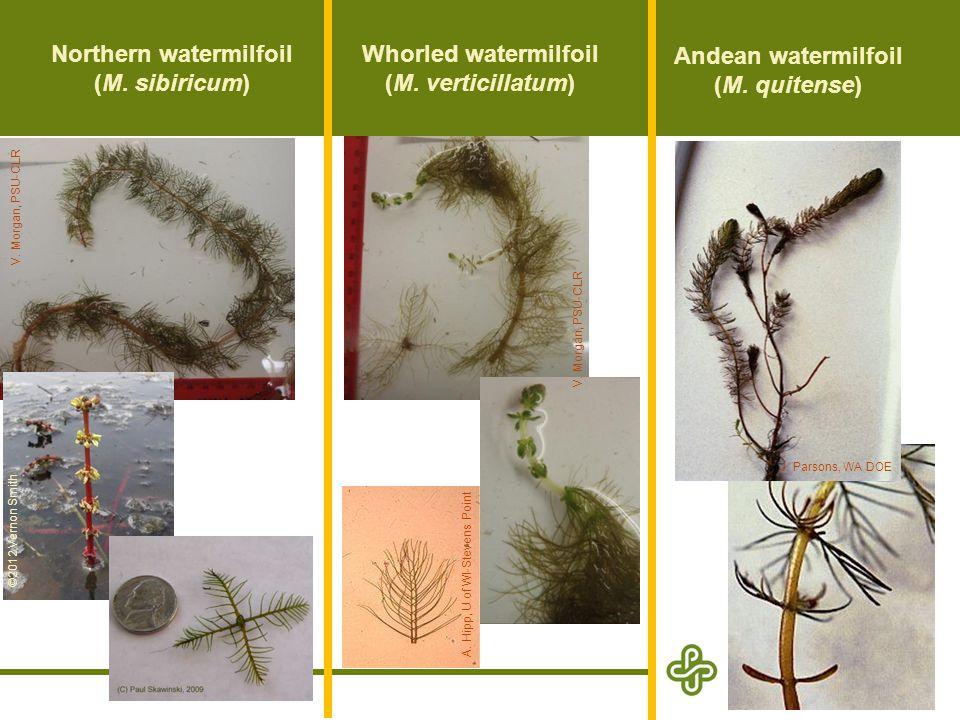 Variable-leaf watermilfoil (M.heterophyllum) Hybrid watermilfoil (M.