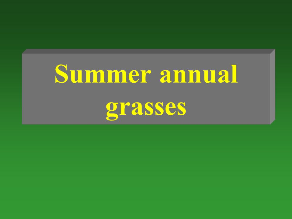 Summer annual grasses