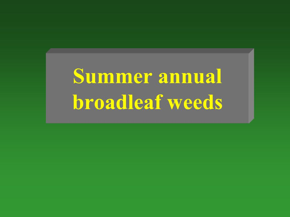 Summer annual broadleaf weeds