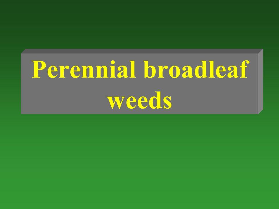Perennial broadleaf weeds