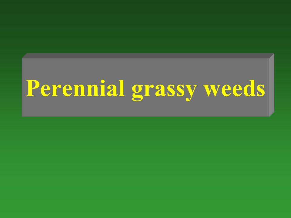 Perennial grassy weeds
