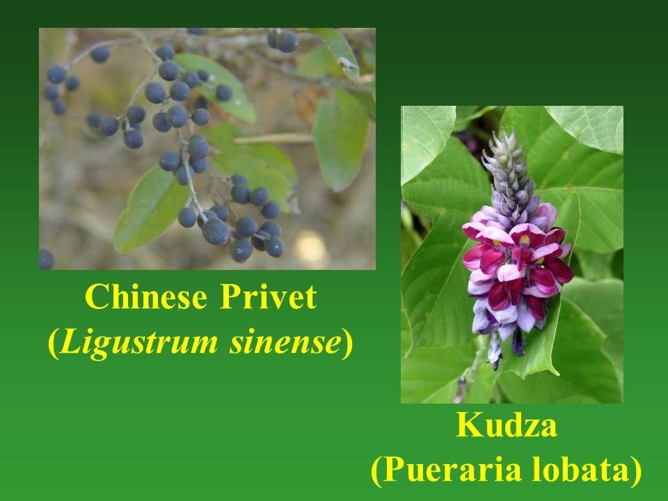 Chinese Privet (Ligustrum sinense) Kudza (Pueraria lobata)