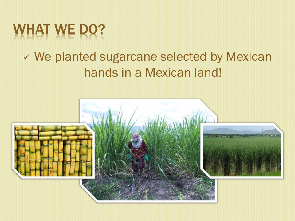 We planted sugarcane selected by Mexican hands in a Mexican land!