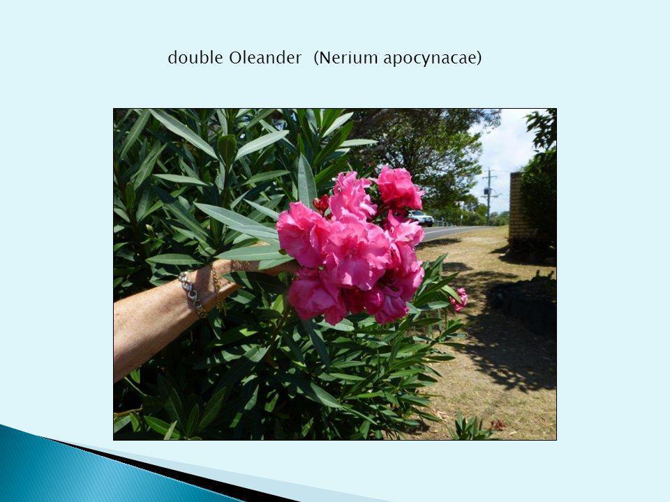 double Oleander (Nerium apocynacae)