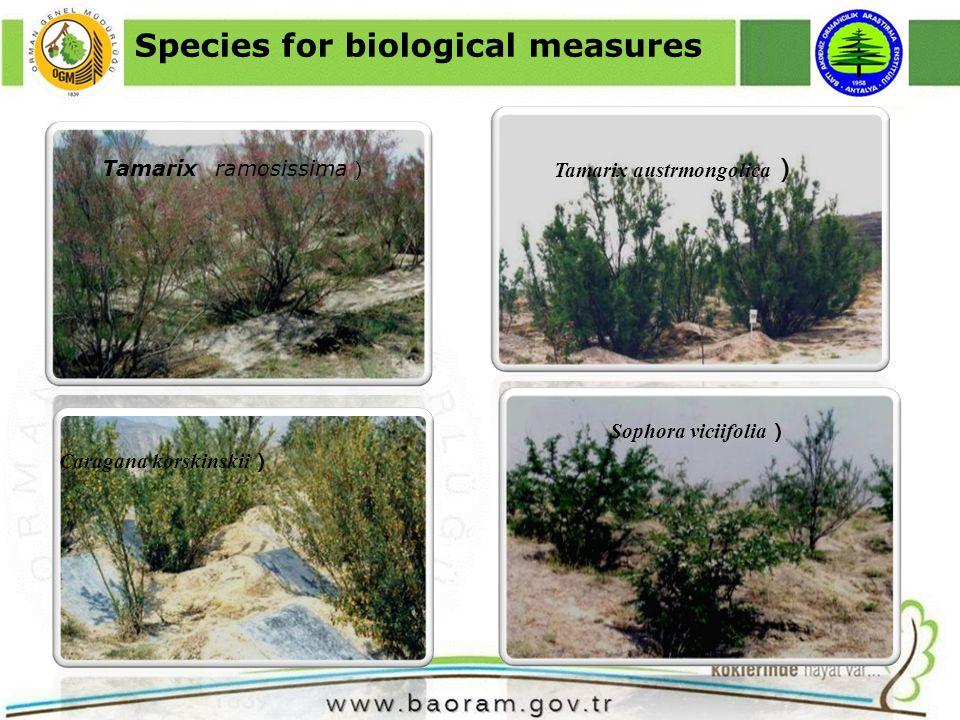 Tamarix ramosissima Tamarix austrmongolica Caragana korskinskii Sophora viciifolia Species for biological measures