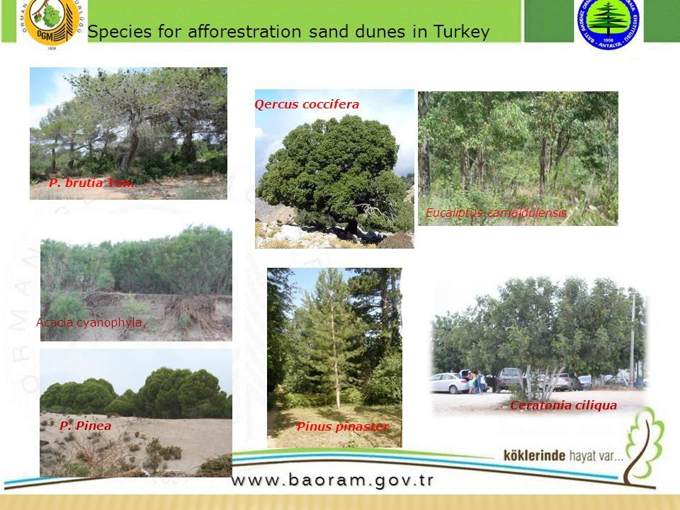 For black sea region Species for afforestration sand dunes in Turkey P.