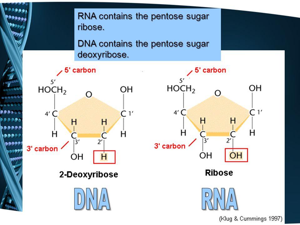 RNA contains the pentose sugar ribose. DNA contains the pentose sugar deoxyribose.