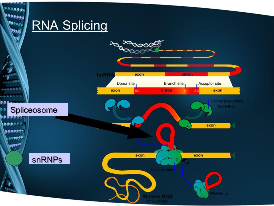 RNA Splicing snRNPs Spliceosome