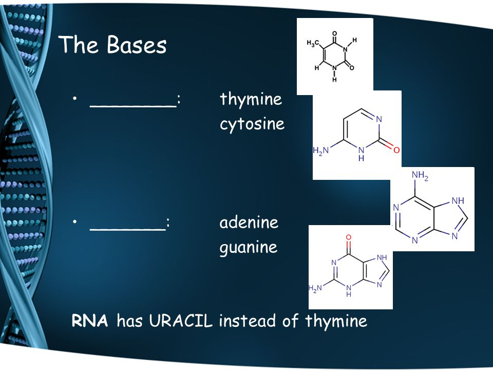 The Bases ________:thymine cytosine _______:adenine guanine RNA has URACIL instead of thymine