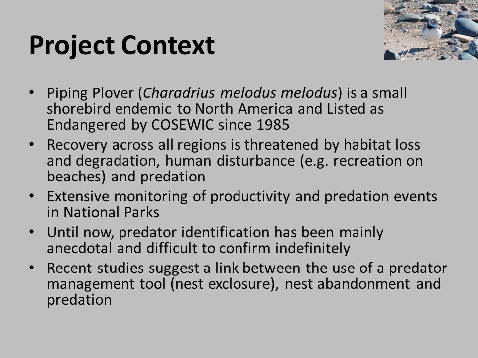 Project Context Piping Plover (Charadrius melodus melodus) is a small shorebird endemic to North America and Listed as Endangered by COSEWIC since 198