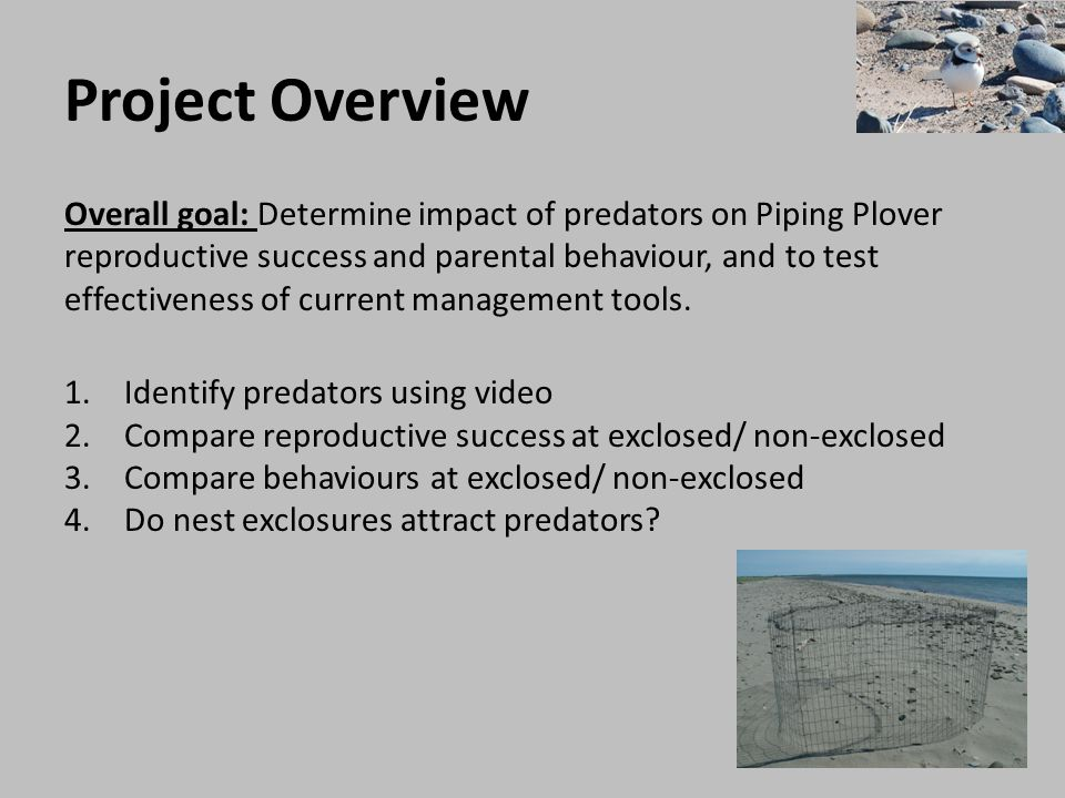 Project Overview Conducting field work in Kouchibouguac and PEI National Parks during 2010 and 2011 Piping Plover breeding season begins late April and the adults and fledged chicks migrate south from mid-July until late August Field season from May 1 st until August 30 th Majority of work involves searching for nests and observing breeding pairs during nest incubation Year-end productivity is a count of the number of fledglings per breeding pair, making for a long field season