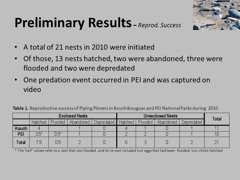 Preliminary Results – Plover Behaviour In addition to video data, I am conducting 30 minute focal observations of incubating parents (n = 17 nests 2010) I am recording a measure of alertness, or vigilance, as the number of scans/minute of an incubating adult I also record the number of times a plover is away from a nest and the number of movements it does while incubating When monitoring nesting Piping Plovers, they are literally invisible until they move, it is thought that visual predators cue in on this Their level of alertness (vigilance) should vary according to their level of stress or exposure to predators