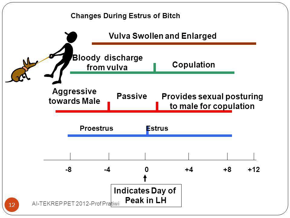 Changes During Estrus of Bitch -8 -4 0 +4 +8 +12 Proestrus Estrus Aggressive towards Male Passive Provides sexual posturing to male for copulation Blo