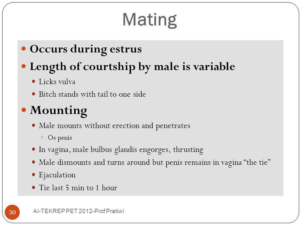 Mating Occurs during estrus Length of courtship by male is variable Licks vulva Bitch stands with tail to one side Mounting Male mounts without erecti