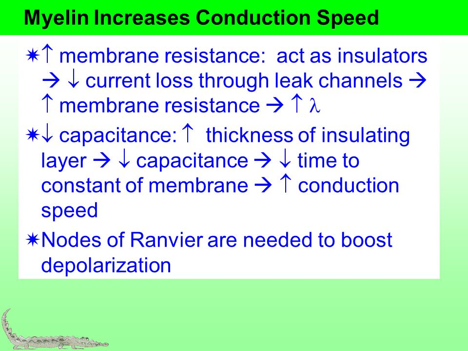 Myelin Increases Conduction Speed membrane resistance: act as insulators current loss through leak channels membrane resistance capacitance: thickness