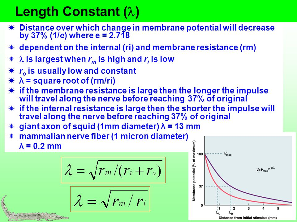 Length Constant ( ) Distance over which change in membrane potential will decrease by 37% (1/e) where e = 2.718 dependent on the internal (ri) and mem