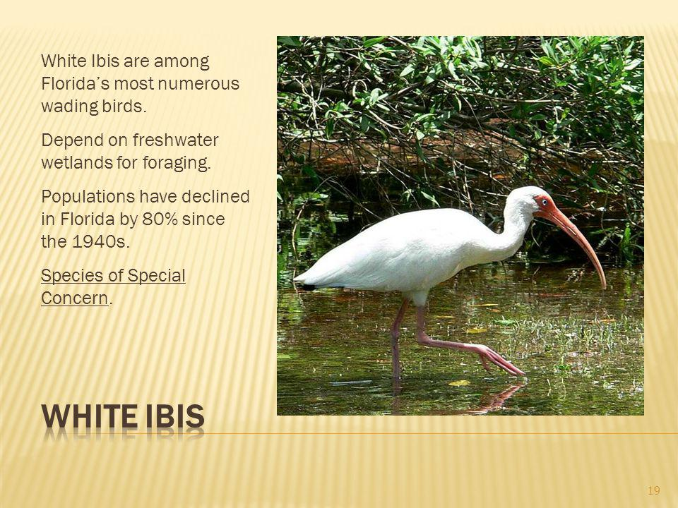 White Ibis are among Floridas most numerous wading birds.