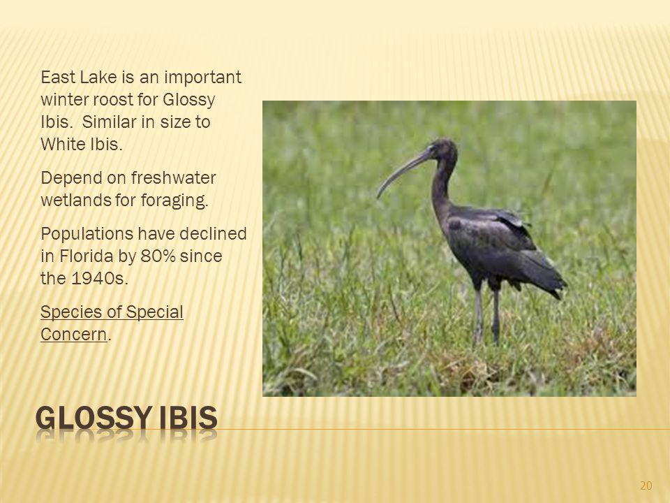 East Lake is an important winter roost for Glossy Ibis.