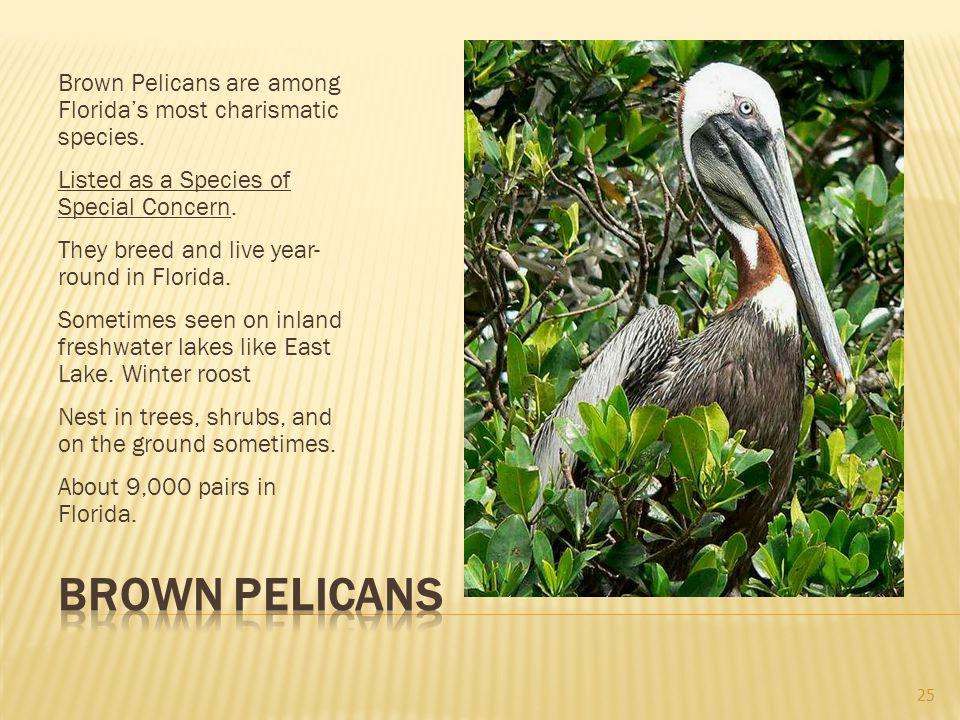 Brown Pelicans are among Floridas most charismatic species.