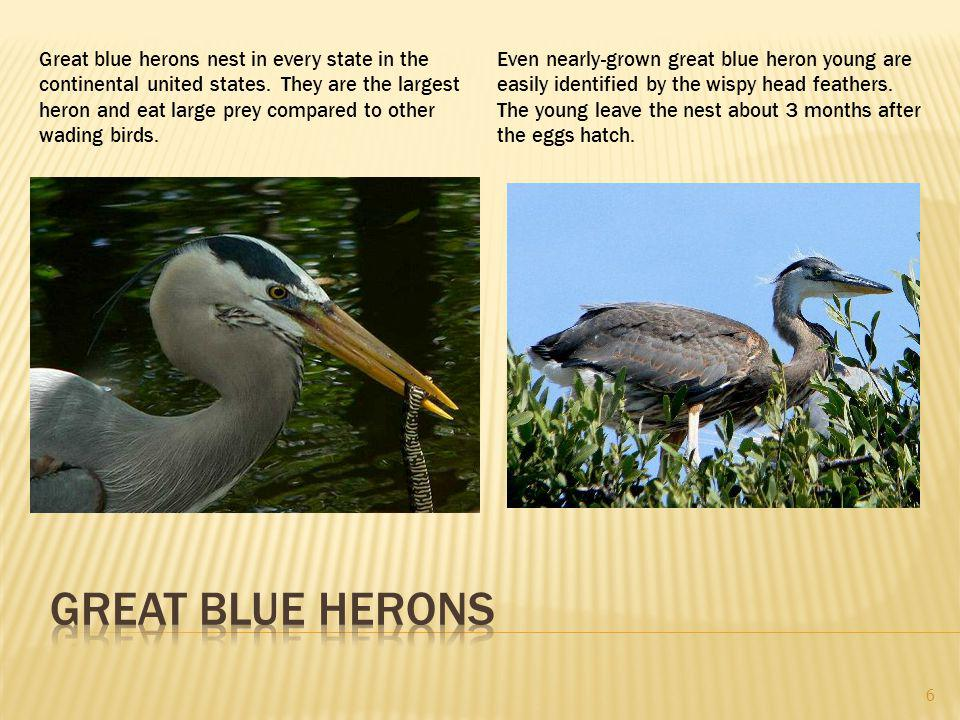 Great blue herons nest in every state in the continental united states.