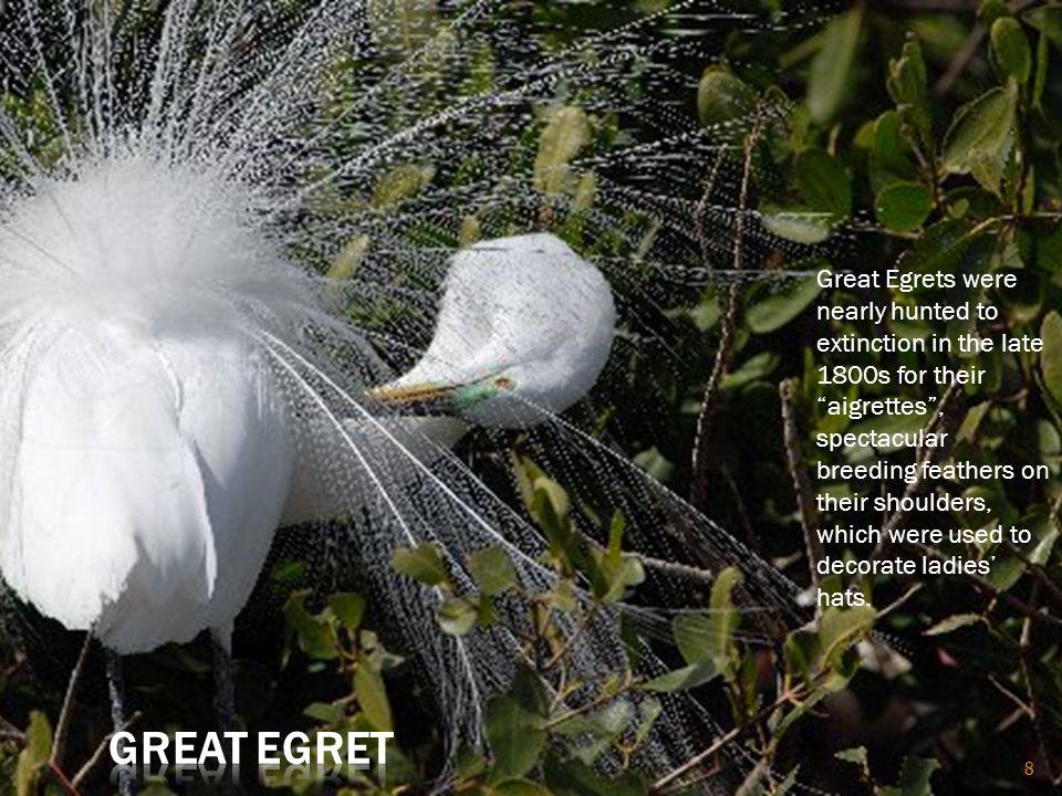 8 Great Egrets were nearly hunted to extinction in the late 1800s for their aigrettes, spectacular breeding feathers on their shoulders, which were used to decorate ladies hats.