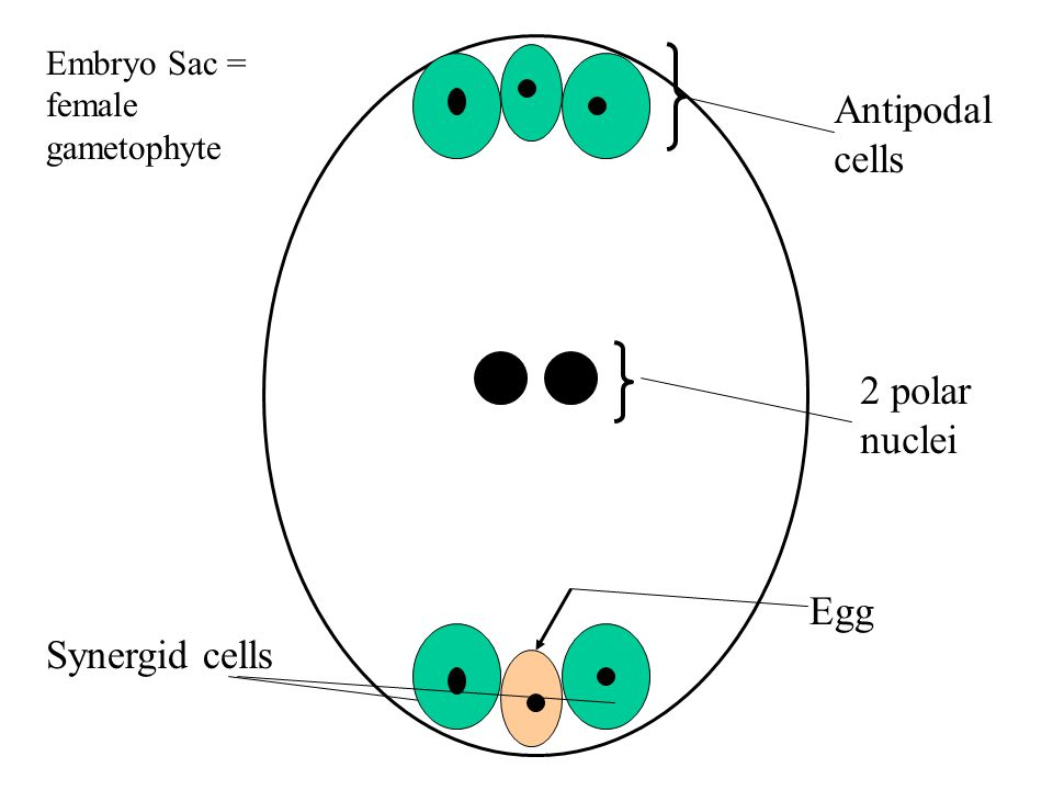 Embryo Sac = female gametophyte Antipodal cells 2 polar nuclei Egg Synergid cells