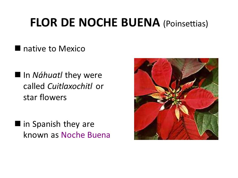 FLOR DE NOCHE BUENA (Poinsettias) native to Mexico In Náhuatl they were called Cuitlaxochitl or star flowers in Spanish they are known as Noche Buena