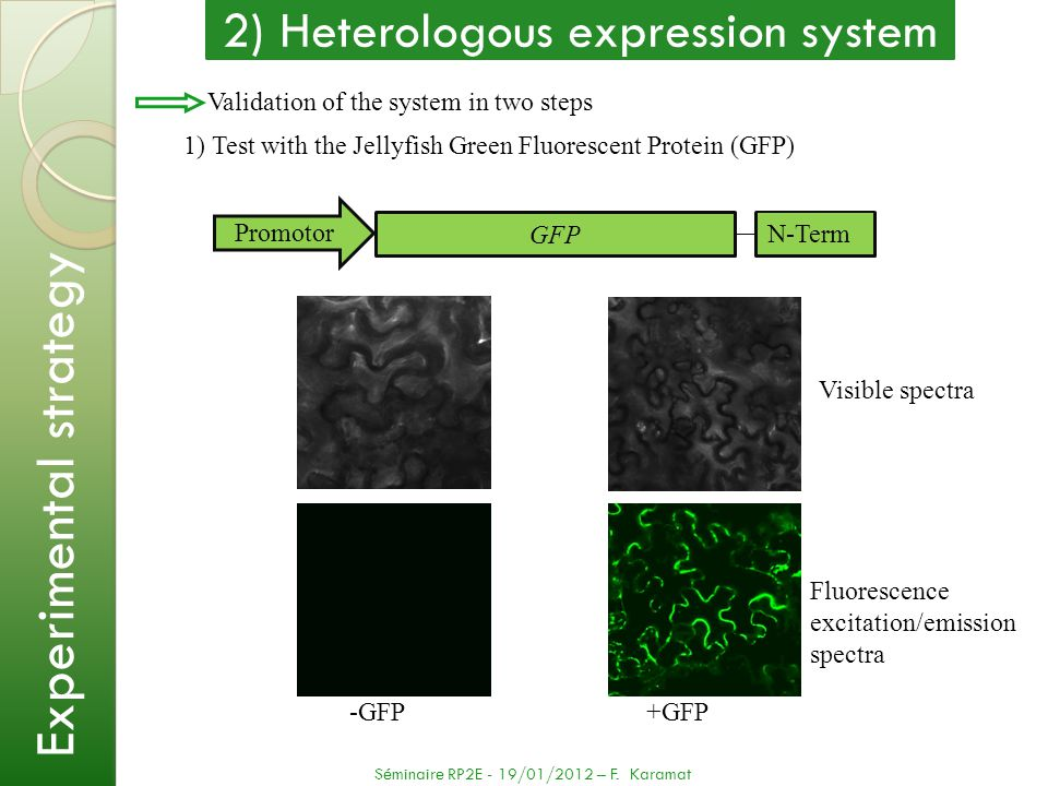 Validation of the system in two steps 1) Test with the Jellyfish Green Fluorescent Protein (GFP) -GFP +GFP Visible spectra Fluorescence excitation/emi